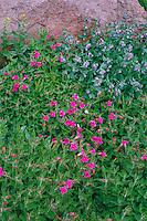 Lewis' monkeyflower, broad-leaf bluebell<br />   and arrowleaf groundsel, Big Indian Gorge<br /> Steens Mountain,  Andrews Resource Area BLM<br /> Harney County,  Oregon