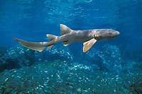 nurse shark, Ginglymostoma cirratum, Bahamas, Caribbean Sea, Atlantic Ocean