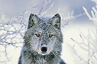 Gray Wolf on frosty winter morning.  Western U.S.