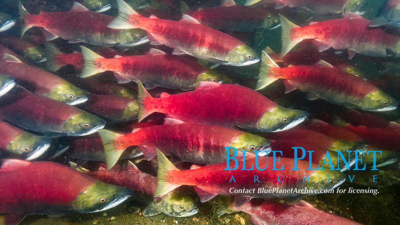 sockeye salmon, Oncorhynchus nerka, aka red salmon, kokanee salmon, schooling, swimming up the river to spawn, where they will lay eggs and die, Adams River, Roderick Haig-Brown Provincial Park, British Columbia, Canada