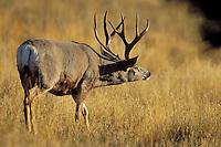 Mule Deer buck (Odocoileus hemionus) during fall rut--checking scent..  Western U.S., Fall.