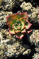 Europe/Espagne/Iles Canaries/Lanzarote : Paysage volcanique de la Geria - Pousse de cactus