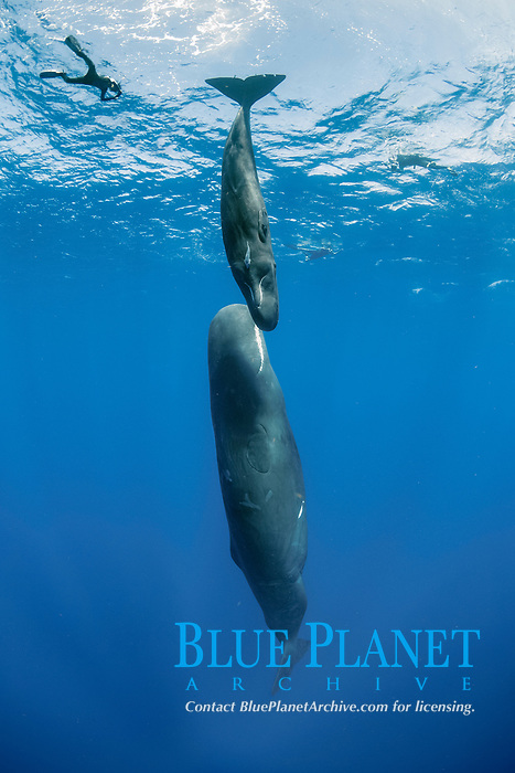 snorkeler with sperm whales mother and calf, Physeter macrocephalus, Dominica, Caribbean Sea, Atlantic Ocean, photo taken under permit n°RP 16-02/32 FIS-5