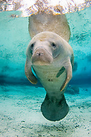 Florida Manatee, Trichechus manatus latirostris, A subspecies of the West Indian Manatee. Three Sisters Springs. Crystal RIver, Florida.