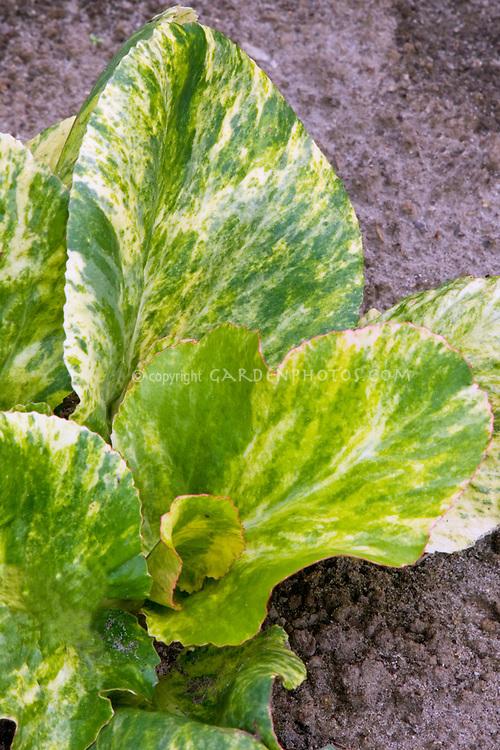Bergenia cordifolia 'Tubby Andrews' variegated foliage leaves