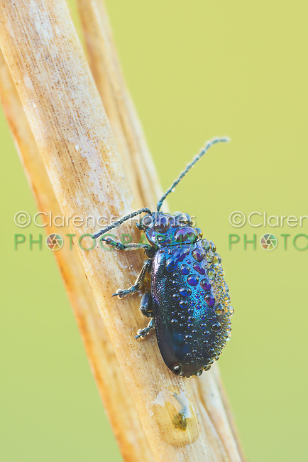 A dew-covered Flea Beetle (Altica sp.) perches on its overnight roost in the early morning.