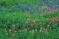 Indian Paintbrush,Castilleja miniata,Texas Bluebonnet , Natalia, Medina County,Texas, USA