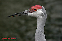 0908-0810  Sandhill Crane, Grus canadensis  © David Kuhn/Dwight Kuhn Photography