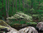 Great Smoky Mountains National Park, TN/NC<br /> Lichen covered boulders paired with a horzontal flowering dogwood tree on the bank of the Middle Prong Little River