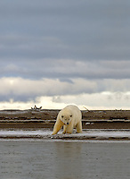 Every fall, polar bears gather near the community of Kaktovik, Alaska, on the northern edge of ANWR, waiting for the Arctic Ocean to freeze. The bears have become a symbol of global warming.