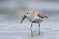 Adult Dunlin (Calidris alpina) molting into breeding (alternate) plumage foraging during spring migration. Gray's Harbor County, Washington. April.