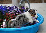12-week-old Bleu in Gardnerville, Nev., on Friday, May 24, 2019. <br /> Photo by Cathleen Allison/Nevada Momentum