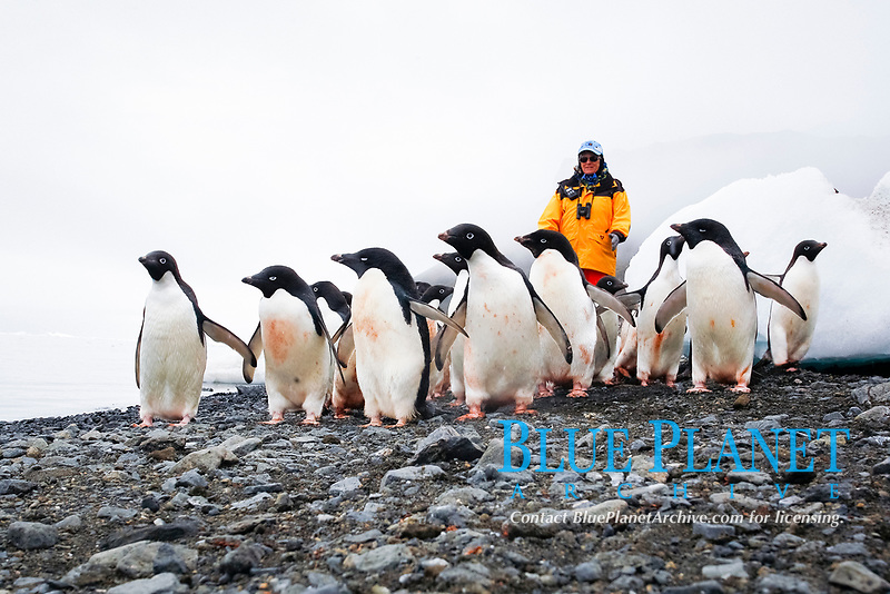 Adult Adelie penguins (Pygoscelis adeliae) on the beach with tourist on Paulet Island on the Northeast side of the Antarctic Peninsula.