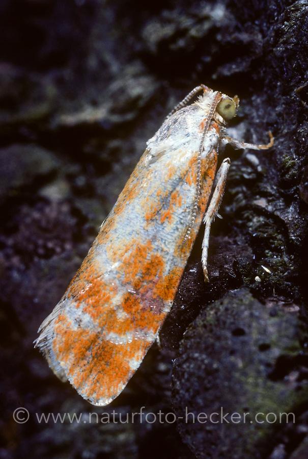 Kieferntriebwickler, Kieferntrieb-Wickler, Rhyacionia buoliana, Evetria buoliana, pine shoot moth, Wickler, Tortricidae