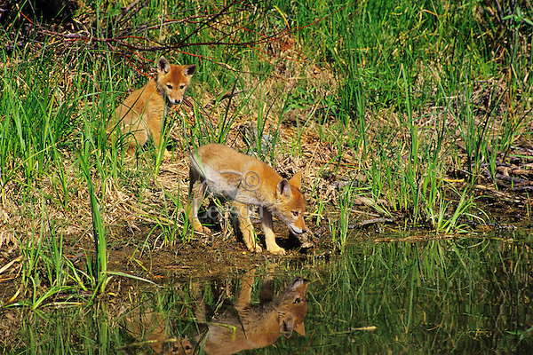 Coyote pups exploring near their densite.  Western U.S., June.