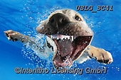 REALISTIC ANIMALS, REALISTISCHE TIERE, ANIMALES REALISTICOS, dogs, paintings+++++SethC_Lab_Reason_IMG_4392work3BOOK,USLGSC41,#A#, EVERYDAY ,underwater dogs,photos,fotos ,Seth