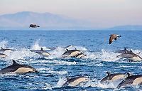 pod of common dolphins, Delphinus delphis, jumping, San Diego, California, USA, Pacific Ocean