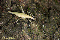 "0110-0907  Davis Tree Cricket (Missing One Leg), Oecanthus exclamationis ""Virginia""  © David Kuhn/Dwight Kuhn Photography"
