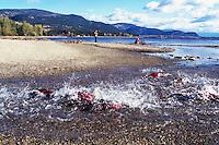 Annual Adams River Sockeye Salmon Run (Oncorhynchus nerka), Roderick Haig-Brown Provincial Park near Salmon Arm, BC, British Columbia, Canada - Fish returning to Spawn - note piles of dead fish rotting on far shore of Shuswap Lake