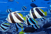 schooling butterflyfish, Heniochus diphreutes, French Frigate Shoals, Papahanaumokuakea Marine National Monument, Northwestern Hawaiian Islands, Hawaii, USA, Pacific Ocean