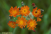 FD11-005b  Orange Hawkweed - flowers and seeds - Hieracium aurantiacum.