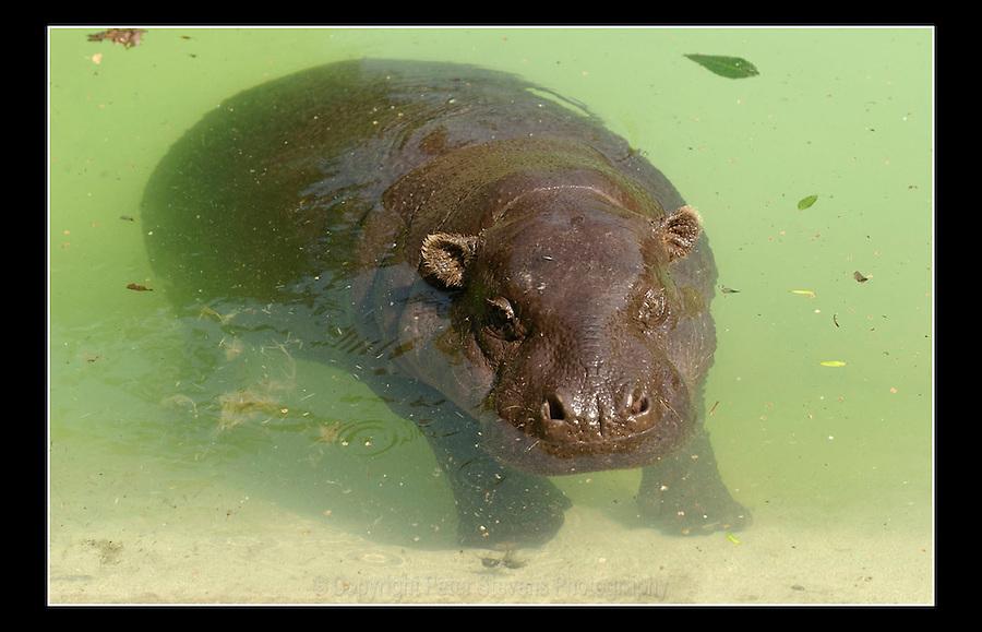 Pygmy Hippopotamus (Choeropsis liberiensis) - Zoological Society of London - 16th June 2003