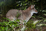 Coyote facing right in dense forest habitat