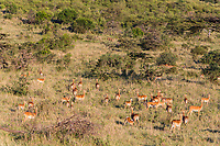 Tanzania. Serengeti. Herd of Impalas Alert for danger, Lion Walking on Hill (upper middle).