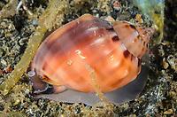 Helmet snail,  Casmaria boblehmani, Lembeh Strait, North Sulawesi, Indonesia, Pacific