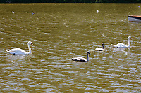 """Pictured: The killer swan, named by locals """"Mr Nasty"""" (LEFT) with his family in the pond by Pembroke Castle, west Wales, UK. Sunday 08 July 2018<br /> Re: A vicious killer swan is prowling around Pembroke, determined to see off any threat to his territory by ruthlessly drowning his victims.<br /> So far, he has killed 10 other swans, though many more have been saved from his attacks.<br /> Dubbed by locals """"Mr Nasty""""  lives on the Castle Pond by Pembroke Castle. <br /> Bird sanctuary worker Maria Evans says she has watched him at work, drowning other swans, breaking their feet or pushing them over a sluice.<br /> In 2010, another killer swan dubbed """"Hannibal"""" had his wings clipped after attacking other swans in the same pond."""