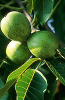 Echte Walnuss, Walnuß, Früchte am Baum, Juglans regia, English Walnut