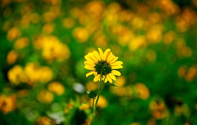 Eastern Sierra wildflowers