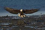 A bald eagle landing on the beach at Homer, Alaska.