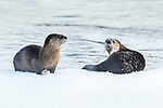 North American river otters (Lontra canadiensis)(formely Lutra canadiensis) on the frozen river edge. Upper Yellowstone River, Hayden Valley, Yellowstone, USA. January