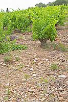 Slate. Vines. Vineyard. Grenache. Domaine Boucabeille, Corneilla la Riviere, Roussillon, France