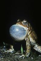 American toad (Bufo americanus), male at night calling, Raleigh, Wake County, North Carolina, USA
