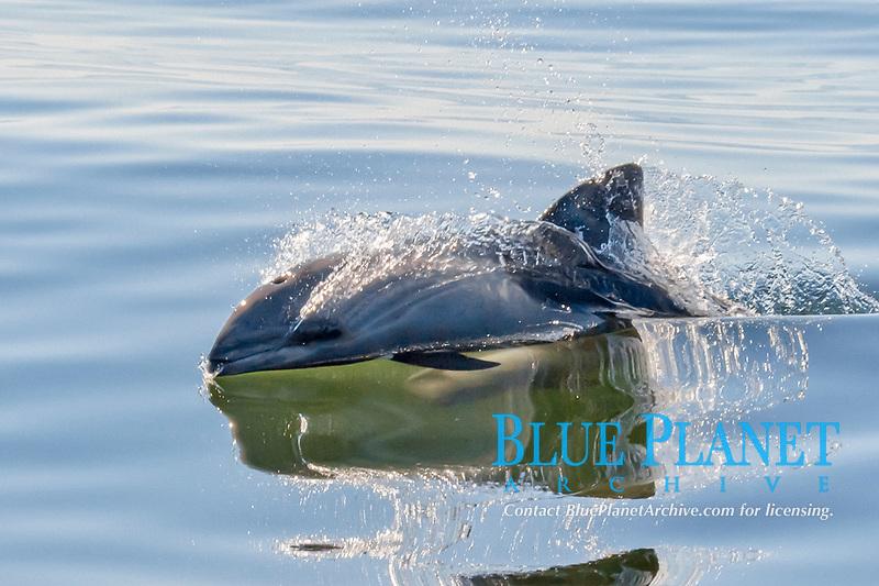 Havisides dolphin, Cephalorhynchus heavisidii, or alternatively Heavisides dolphin, surfacing, Walvis Bay, Namibia, South Atlantic Ocean