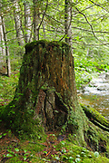 Old tree stump next to Meadow Brook, which travels near the Sawyer River Trail. The Sawyer River Trail utilizes the old railroad bed of the Sawyer River Railroad (1877 -1928) in Livermore, New Hampshire.
