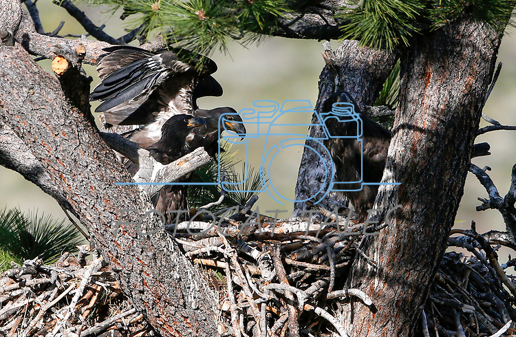 Bald eagle family update near Markleeville, Ca., on Thursday, June 18, 2020. <br />