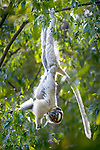 Adult Verreaux's sifaka (Propithecus verreauxi) suspension feeding in forest canopy, Berenty gallery forest, southern Madagascar.