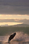 Orca whale breaching off Seattle, Puget Sound, Bainbridge Island, Olympic Mountains in the distance, Washington State, Pacific Northwest, USA,