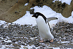 An Adelie penguin walks across a rocky shore at Brown Point in Antarctica.