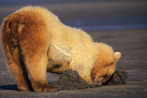 Grizzly Bear digging for razor clams on an Alaskan Peninsula beach, Katmai National Park.  Summer.