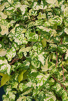 Hedera helix 'Golden Jytte' English ivy
