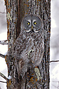 00830-05011 Great Gray Owl is well camouflaged as it is perched against tree trunk.  Sleep, rest, cryptic.