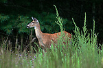 White-tailed deer doe grazing in an open field at the edge of dense forest cover looking left.