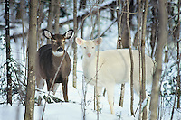 White-tailed deer (Odocoileus virginianus)--two does, one of which is an albino.  Winter.