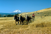Threshing the wheat. Dufur Oregon United States.