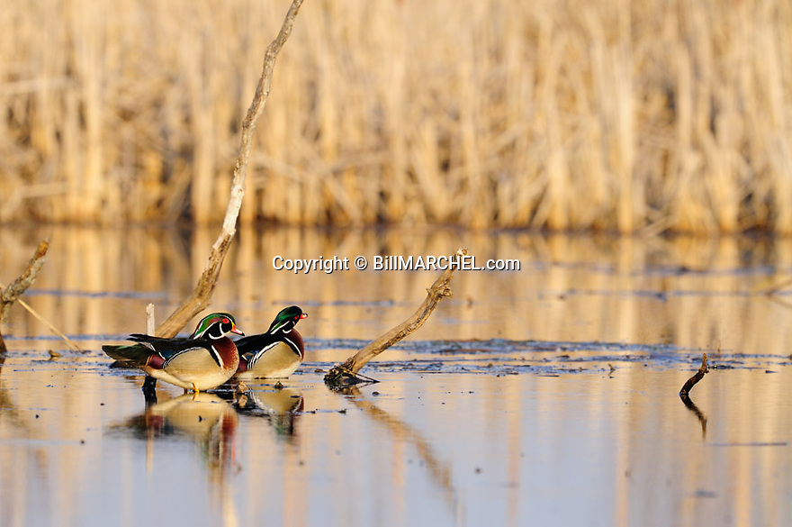 00360-103.20 Wood Duck pair of drake are sitting on a log in the water of marsh typical of species.  Hunt,, waterfowl, wetland.
