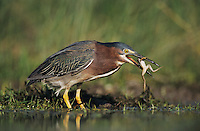 Green Heron, Butorides virescens,adult eating Leopard Frog, Lake Corpus Christi, Texas, USA